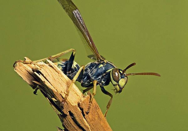 European Hornet Photograph - European Paper Wasp by Buddy Mays