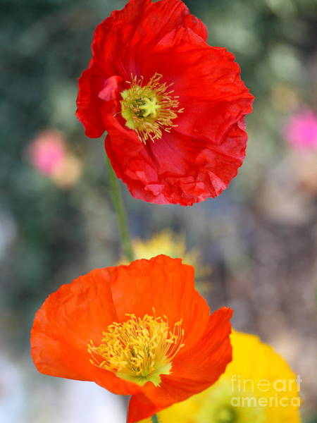 Photograph - European Poppy . 7d1169 by Wingsdomain Art and Photography