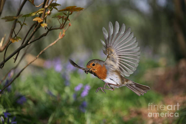 Photograph - European Robin In Flight by Warren Photographic
