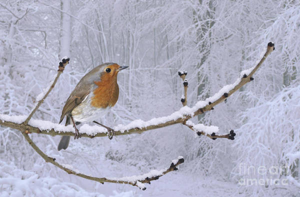 Photograph - European Robin On Snowy Branch by Warren Photographic