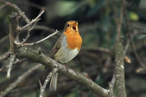 European Robin Photograph - European Robin Singing by Photostock-israel