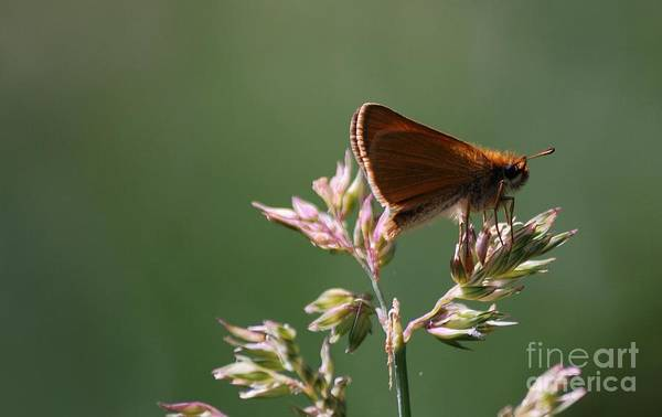 Photograph - European Skipper by Randy Bodkins