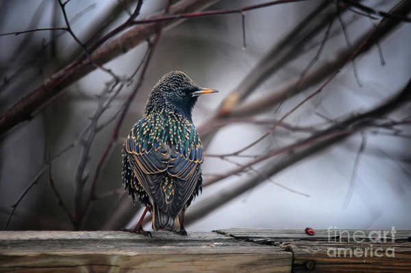 Wall Art - Photograph - European Starling In Non Breeding Colors by Lois Bryan