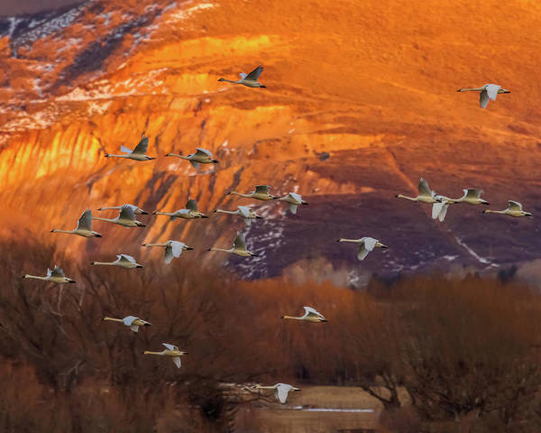 Photograph - Evaning Flight - Tundra Swans by TL Mair