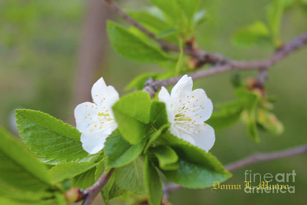 Photograph - Evans Cherry Blossom by Donna L Munro