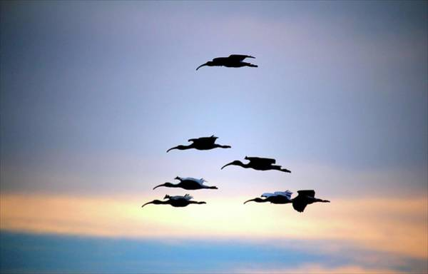 Photograph - Evening Flight by Cynthia Guinn