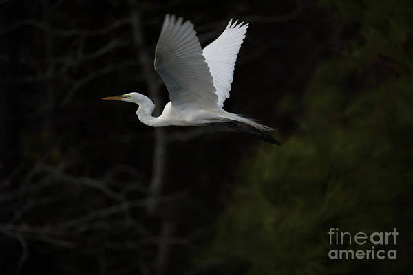 Photograph - Evening Flight by Dale Powell