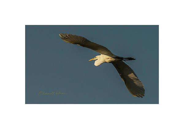 Photograph - Evening Flight Great Egret by Edward Peterson