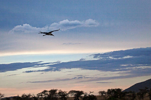 Photograph - Evening Flight by John  Nickerson
