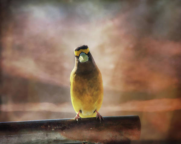 Wall Art - Photograph - Evening Grosbeak On A Spring Day by Susan Capuano