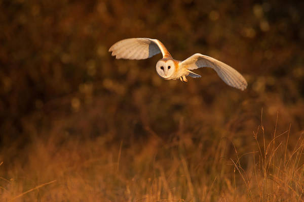 Photograph - Evening Hunter by Simon Litten