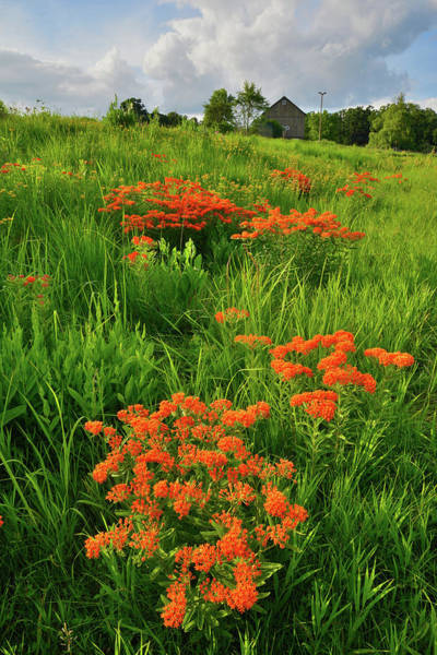 Photograph - Evening Light On Butterfly Weed Of Glacial Park by Ray Mathis