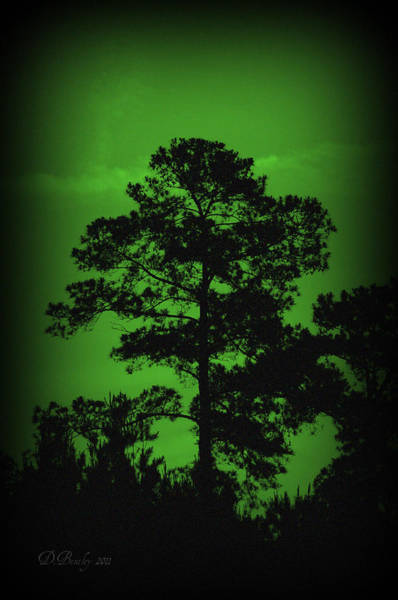 Photograph - Evening Pine by Donna Bentley