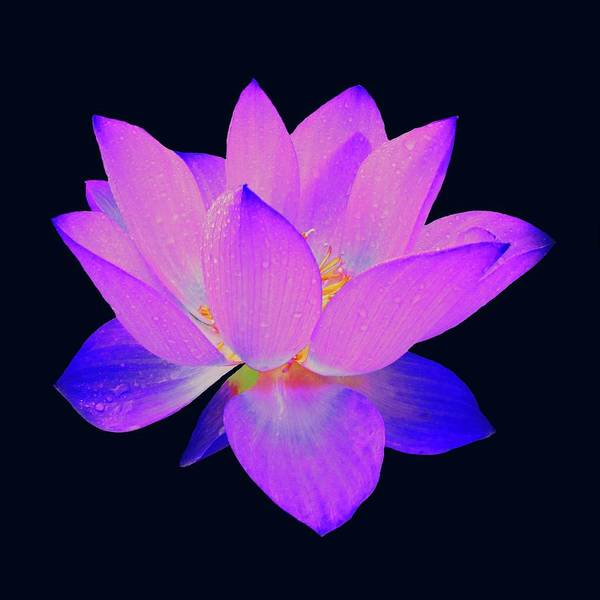 Evening Purple Lotus  Art Print