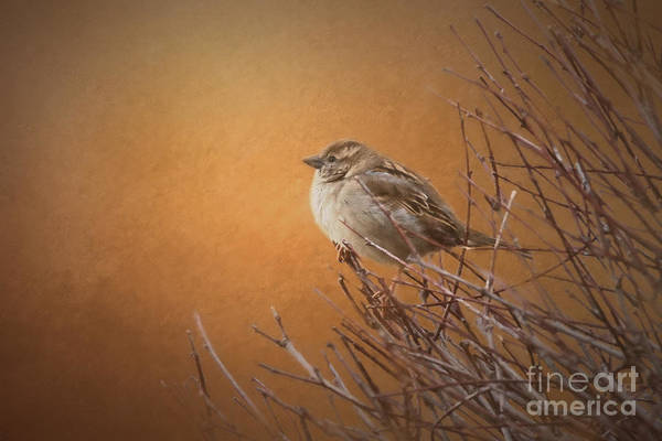 House Sparrow Photograph - Evening Sparrow Song by Sharon McConnell