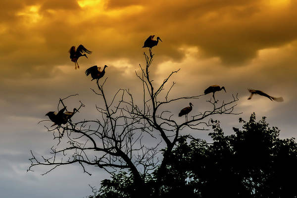 Photograph - Evening Storks by Cliff Norton