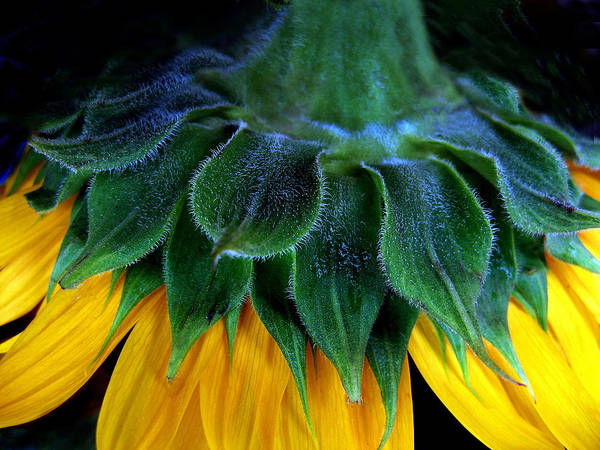 Photograph - Evening Sunflower by Jessica Jenney