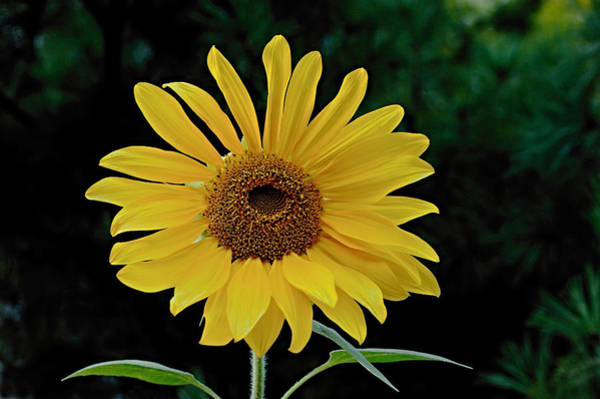Photograph - Evening Sunflower by William Jobes