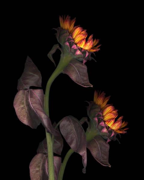 Bronze Leaf Wall Art - Photograph - Evening Sunflowers by Marsha Tudor