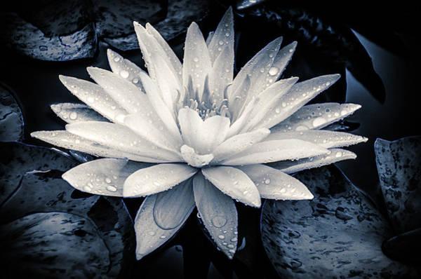 Photograph - Evening White Water Lily by Julie Palencia