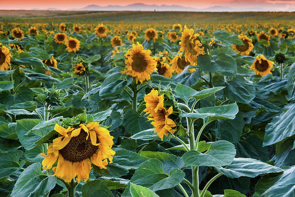 Photograph - Evening With The Sunflowers by John De Bord