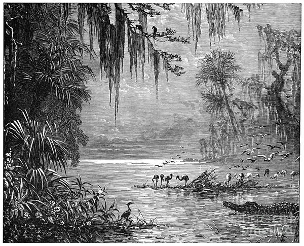 Drawing - Everglades Of Florida.  by Granger