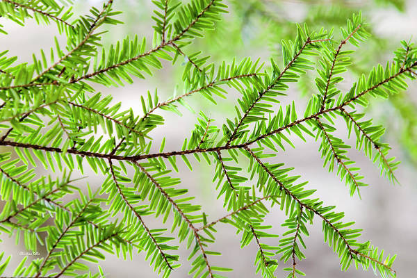 Wall Art - Photograph - Evergreen Abstract by Christina Rollo