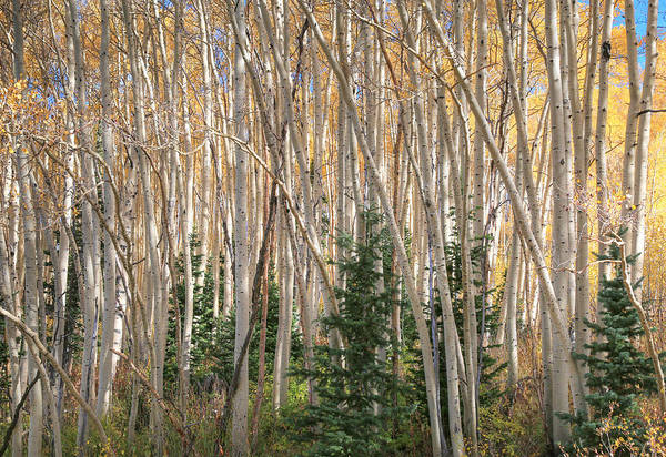 Wall Art - Photograph - Evergreens And Aspens by Donna Kennedy
