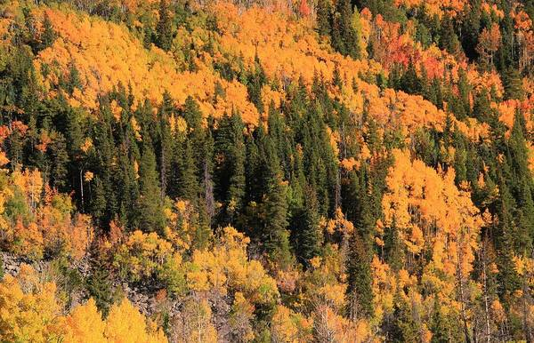 Photograph - Evergreens And Autumn Leaves In Colorado by Dan Sproul