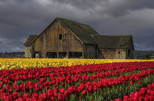 Photograph - Everlasting Blooms by Mark Kiver