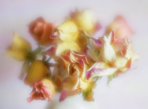 Photograph - Everlasting Rose Buds by Diane Fifield
