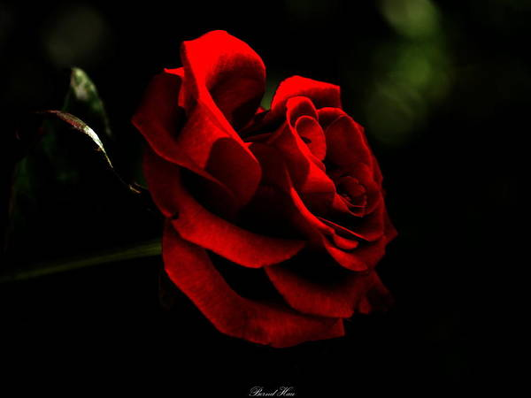 Photograph - Every Rose Has Its Thorn by Bernd Hau