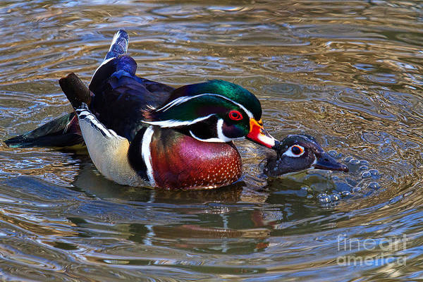 Photograph - Everything's Ducky by Jim Garrison