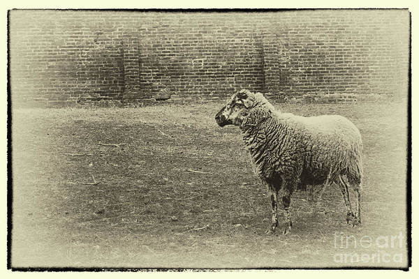Photograph - Ewe From The Past by Karen Adams