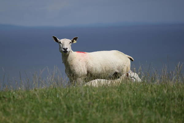 Photograph - Ewe Guarding Lamb by John Moyer