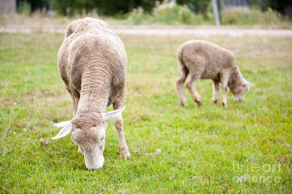 Ovine Photograph - ewe with lamb grazing in Poland  by Arletta Cwalina