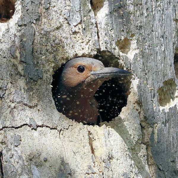 Northern Flicker Photograph - Excavation Time by Doris Potter