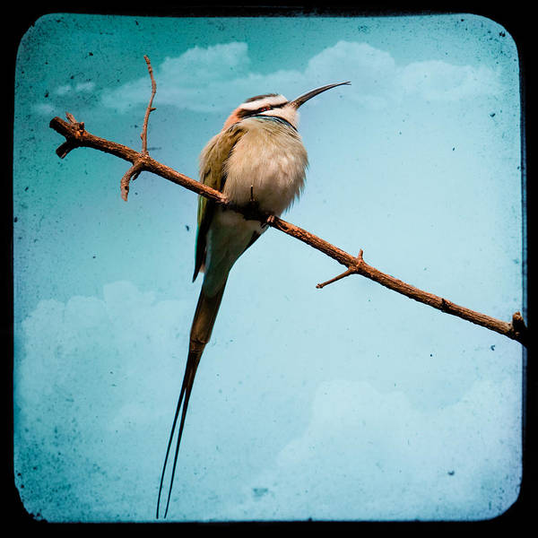 Photograph - Exotic Birds - White Throated Bee Eater by Gary Heller