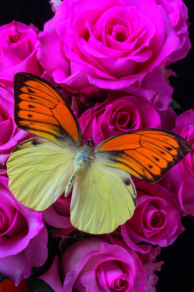 Orange Rose Photograph - Exotic Butterfly On Pink Roses by Garry Gay