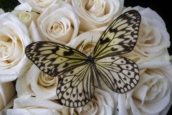 Beauty Spot Photograph - Exotic Butterfly On White Roses by Garry Gay