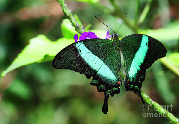 Wall Art - Photograph -  Exotic Emerald Swallowtail  by Ruth Jolly