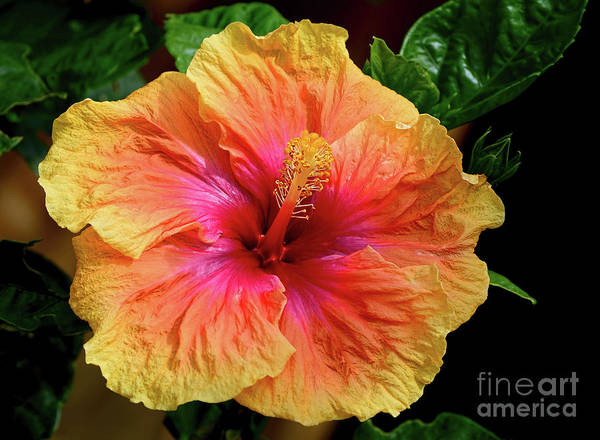 Wall Art - Photograph - Exotic Hibiscus Flower By Kaye Menner by Kaye Menner