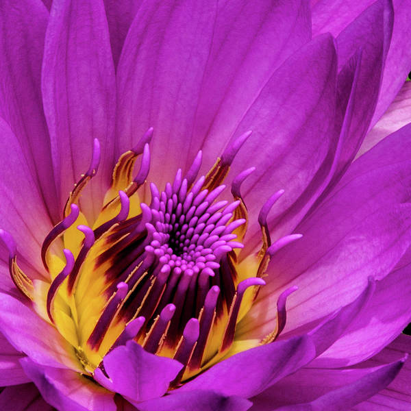 Photograph - Exotic Hot Pink Water Lily Macro by Julie Palencia