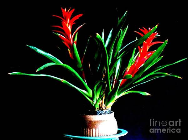 Photograph - Exotic Red Flower Guzmania Bromeliad Plant by Delores Malcomson
