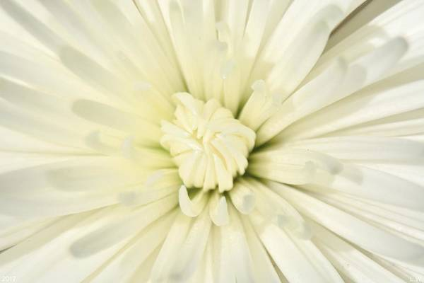 Photograph - Explosion Of White by Lisa Wooten