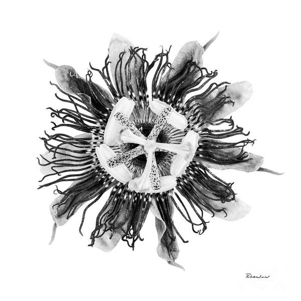 Photograph - Expressive Passion Flower In Grayscale 50674g by Ricardos Creations