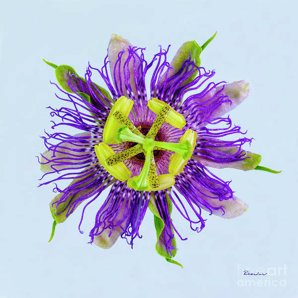 Expressive Yellow Green And Violet Passion Flower 50674b Art Print