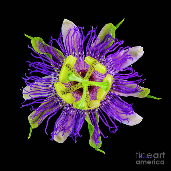Photograph - Expressive Yellow Green And Violet Passion Flower 50674c by Ricardos Creations