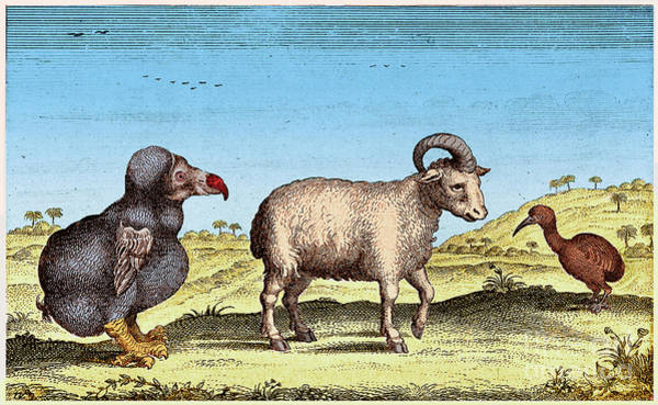 Photograph - Extinct Dodo, One-horned Sheep, Red by Science Source
