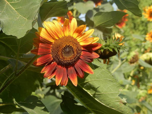 Photograph - Extra Special Variety Sunflower 2018 by Tina M Wenger